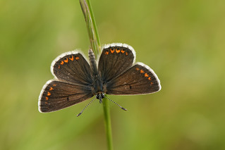 Brown Argus Butterfly (Aricia agestis).