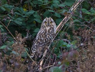 Short Eared Owl taken in Sefton