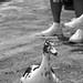 Ducks got your feet
