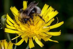 Personal Sun - _TNY_2125 (Calle Söderberg) Tags: macro canon canon5dmkii canonef100mmf28usmmacro canoneos5dmarkii raynox dcr250 flash meike mk300 glassdiffusor insect blackbackground bumblebee cuckoobumblebee gypsyscuckoobumblebee jordsnylthumla snylthumla humla bombus bohemicus psithyrus yellow fibbla flower hair hairy fuzzy fuzz fur furry hawkweed canadianhawkweed hieracium umbellatum flockfibbla canadense northernhawkweed kalmii kalmshawkweed narrowleavedhawkweed f13