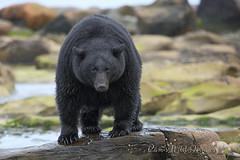 I'm The Boss Around Here (PamsWildImages) Tags: black bear nature wildlife canada vancouverisland pamswildimages pammullins bc big