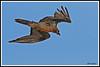 Gypaète 171018-04-P (paul.vetter) Tags: oiseau ornithologie ornithology faune animal bird gypaètebarbu gypaetusbarbatus bartgeier quebrantahuesos beardedvulture vautour rapace