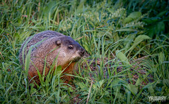 Marmotte / Marmot / marmota (yravaryphotoart.com) Tags: yravaryphotoart yravaryphotoartcom canoneos7d canonef70200mmf28lisiiusm animal marmotte marmot marmota rongeur vermine