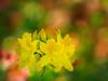 Bokeh is my canvas (3) (Karsten Gieselmann) Tags: 40150mmf28 em5markii europa gelb grün mzuiko microfourthirds natur olympus orange pflanzen rhododendron sofiero strauch sträucher sweden trelleborg bush bushes green kgiesel m43 mft nature yellow helsingborg skånelän schweden