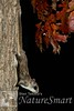 Southern Flying Squirrel fall colors Tekiela TEK0962 (Stan Tekiela's Nature Smart Wildlife Images) Tags: allrightsreserved authornaturalistwildlifephotographer mammals vertebrates vertibrate mammalia fur hair terrestrial land animal minnesota unitedstatesofamerica usa naturesmartimagesbystantekiela stantekiela copyright allrightsreservered stockimage professionalphotographer images wildlife animals nature naturalist wild stockphotos digitalimages critter stockimages