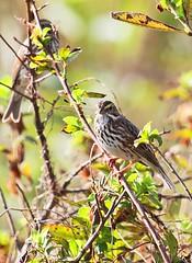 Savannah Sparrow.  (c) 2017 Walt Hackenjos. All rights reserved.