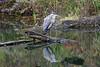 _DSC0650A (Bill Vrtar Photo) Tags: heron blueheron bird wildlife millcreekpark lilypond boardman ohio vrtarsmugmugcom reflection