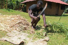 VBDA Lillian Ochieng from Usaha village, Gem Sub County in Siaya County chopping the fodder grass brachiaria into smaller pieces to minimize waste (International Livestock Research Institute) Tags: avcd dairying kenya