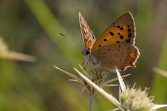 Lycaena phlaeas (keynowski) Tags: lycaenaphlaeas beneklibakır nature ngc animalplanet animal butterfly wildlife olympusmzuikodigitaled60mmf28macro olympusomdem1