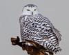 The Traveler... (ragtops2000) Tags: owl snowy unusual rare female early home ways long field pivot irrigation beautiful eyes pose portrait colorful markings nebraska eastern raptor