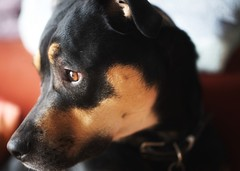 What is on the agenda for today? (wilfredwong@ymail.com) Tags: companions shepardmix rottweiler doberman dogs