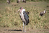 African Safari. Marabou Stork. (Lena and Igor) Tags: travel safari africa kenya masaimara bird marabou stork portrait dslr nikon d810 sigma 150600 contemporary fx thisphotorocks