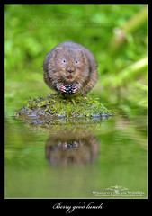 Berry Good Lunch ! (deanmasonwp) Tags: water vole animal mammal berry stream river fruit picker rodent wind willows dean mason windows wildlife dorset uk moss green reed brook nikon d3s 300mm f28 nature photo photography