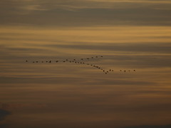 V-Formation (IS OZ Photo) Tags: vögel birds formationsflug vformation sonnenuntergang sunset isoz natur nature natureart e3 zuiko dslr ft olympus zugvögel migratorybirds nrw germany deutschland himmel sky 70300 fourthirds spiegelreflex oly olympuse 2017 wildlife silhouette 4000views 450faves 450 fav450 natura outofnature outdoor out backlight inthesky 5000 5000views