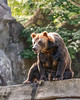 Grizzly bear sitting - vertical (Outfielder569) Tags: grizzlybear northamerica omnivore brown rocks trees nature wildlife mammal animal zoo conservation hunting majestic large powerful wild alaska montana rockymountains hibernation scavenger ecosystem vertical
