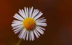 Flower Macro- (3774) (YᗩSᗰIᘉᗴ HᗴᘉS +9 500 000 thx❀) Tags: 7dwf flower daisy macro fleur red white wild wildflower hensyasmine