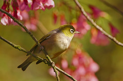 Wax-eye in the plum blossoms (Yani Dubin) Tags: green 150600mmf563dgoshsm|c nature d7000 endemic blossoms sigma waxeye white pink newzealandnative darktable gimp plumblossoms tree ilamgardens bird fruittree animal plant sharp yellow color spring whiteeye lateralis dof silvereye bokeh zosterops colour christchurch native plum colorful canterbury newzealand