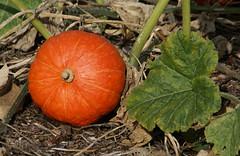 Kürbis (pumpkin) (HEN-Magonza) Tags: herbst autumn botanischergartenmainz mainzbotanicalgardens rheinlandpfalz rhinelandpalatinate germany deutschland kürbis pumpkin