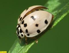 Olla v-nigrum (F.J.De Jesus) Tags: olla ollavnigrum joaninha ashygray ashygrayladybeetle ladybeetle coccinellinae coccinellidae cucujoidea polyphaga macro