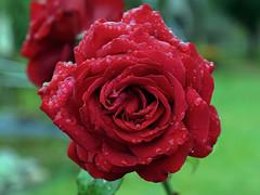 Rote Rose für dich! (ingrid eulenfan) Tags: pflanze plants nature natur rose rot redroses regen regentropfen rain sonya77ii