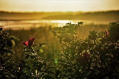 Hazy morning at the beach...x (shona.2) Tags: nikon scotland seaside flower goldenhour sunrise beach