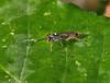 2017_08_1179 (petermit2) Tags: ichneumonwasp ichneumon wasp hatfieldmoors hatfield lindholme doncaster southyorkshire yorkshire peat bog humberheadpeatlands humberhead naturalengland nnr