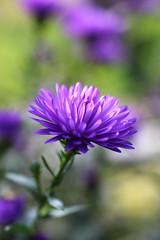 Aster (stgio) Tags: flowers autunno fiori fioritura settembrini aster viola giardino colori