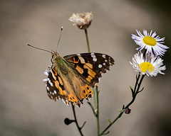 Alignment (droy0521) Tags: seasons roxboroughstatepark wildlife butterfly flowersplants flower colorado outdoors events insect fall places macro littleton unitedstates us