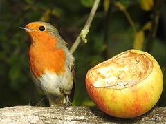 Robin Apple Series No 18 (Diko G.W.) Tags: nafferton eastyorkshire robins songbird nikonp900 apple