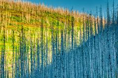 Lonley Sentinals (William Horton Photography) Tags: glaciernationalpark montana deadtrees diagonal firedamage forestfire horizontal