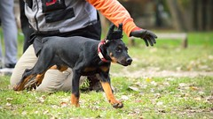 Release (zola.kovacsh) Tags: outdoor animal pet dog school pup puppy dobermann doberman pinscher border collie