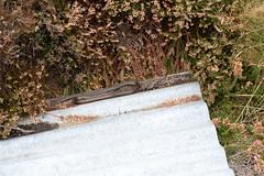 spot the snake (1 of 2) hypermelanistic smooth snake (Coronella austriaca) (willjatkins) Tags: wildlife wildlifeofeurope camouflage animalcamouflage animalbehaviour basking snakes snake snakesofeurope hypermelanisticsnake melanistic smoothsnake coronellaaustriaca coronella reptiles reptile reptilesofeurope europeanreptiles europeansnakes britishwildlife britishamphibiansandreptiles britishreptilesandamphibians britishreptiles britishsnake britishsnakes dorsetwildlife dorsetreptiles nikond610 sigma105mm heathlandwildlife heathlandreptiles heathland protectedspecies protectedwildlife