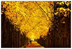 Goldener Herbst – golden autumn (frodul) Tags: baum herbst natur laubfärbung gelb jahreszeit blatt laub gegenlicht georgengarten hannover herrenhausen wetter sonnenschein allee herrenhäuserallee linde lindenallee niedersachsen deutschland