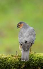 Bad boy (bilska.anna) Tags: sparrowhawk hawk bird prey pray wildlife nature beauty