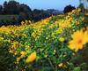 Still spring (Robyn Hooz (away)) Tags: liquidambar fiori giallo petali argini canale sponda padova green garden spontaneo