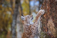 On the way to the top.... (CecilieSonstebyPhotography) Tags: climbing catfamily portrait eurasianlynx lynx endangered closeup høst cat canon fall september animal norway trees markiii gaupe tree langedrag canon5dmarkiii ef70200mmf28lisiiusm beautiful birch bokeh autumn specanimal ngc npc