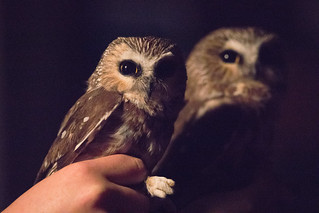 Northern Saw-Whet Owl Twofer