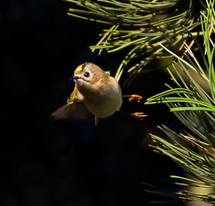 Goldcrest ( regulus regulus ) - Hunting among the conifer needles !! (Clive Brown 72) Tags: conifers tiny wales firtrees goldcrest kinglet