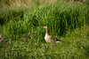 Goose and a gosling (malc1702) Tags: field goose birds bird gosling birdphotography largebirds wildlife wildlifephotography birdsinthewild nature naturephotography animals