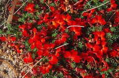 Lechenaultia formosa, Toolibin, east of Narrogin, WA, 15/09/17 (Russell Cumming) Tags: plant lechenaultia lechenaultiaformosa goodeniaceae toolibin narrogin westernaustralia
