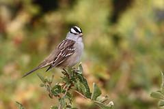 White-crowned sparrow,  Zonotrichia leucophrys (jlcummins - Washington State) Tags: bird fortsimcoestatepark yakimacounty washingtonstate yakamaindianreservation zonotrichialeucophrys
