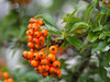 Pyracantha - lovely autumn colours (Unni Henning (also Instagram @unnikarin59)) Tags: berries pyracantha autumn orange macro closeup narrowdepthoffield outdoor nature garden warwickshire england leaves green bokeh bokehbackground