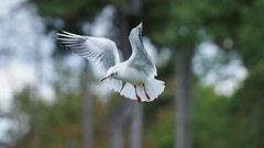 a Gull Slowing down (Franck Zumella) Tags: oiseau bird gull mouette fly flying vol voler slow down ralentir nature white blanc