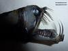 Jaw - Abyssal - Fish - Monster (Fran Martín de la Sierra) Tags: chauliodus sloani stomiidae dientes mandíbula monstruo abisal pezdelasprofundidades dientesdesable monstruoabisal deepseamonster deepsea monster creature poisson rare raro taxidermia taxidermy pezvíbora viperfish depths dismal scary fish miedo bizarro gótico monstruoso jaw mouth odd oddity mediterranean sea specimen catch fishing pesca