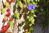Otoño en la vieja tapia (esta_ahi) Tags: ipomoea convolvulaceae ipomea parthenocissus vitis vinyaverge parthenocissusquinquefolia vitaceae flor flora flores fulles hojas rojas otoño tardor enredaderas trepadoras cultivadas vilafrancadelpenedès barcelona españa spain испания