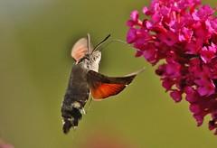here he is again (Hugo von Schreck) Tags: hugovonschreck macro makro hummingbirdhawkmoth taubenschwänzchen macroglossumstellatarum insect insekt moth fantasticnature canoneos5dsr tamron28300mmf3563divcpzda010 onlythebestofnature