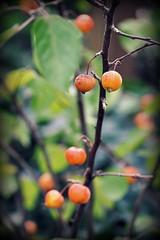 _favorite dish for birds (SpitMcGee) Tags: zieräpfel einbaumfürallejahreszeiten vogelfutter hbw happybokehwednesday spitmcgee