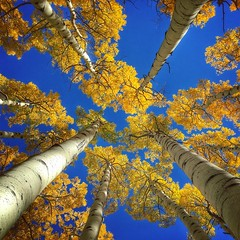 Looking up in the aspens... https://www.hippytree.com/blog/week-40-winner/ ... http://www.mobiography.net/inspiration/mobiography_showcase_1/ (allophile) Tags: snapseed iphone6s lookup foliage fallcolor sanfranciscopeaks autumn fall aspens arizonapassages arizona