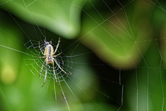 Tiny Spider In A Big Web (Alfred Grupstra) Tags: spiderweb spider nature insect animal arachnid closeup macro dew backgrounds drop wildlife outdoors spooky carnivore grass wet gardenspider summer animalshunting