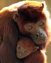 red howlermonkey Apenheul BB2A2221 (j.a.kok) Tags: apenheul monkey aap mammal animal dier zoogdier zuidamerika soutamerica brulaap howlermonkey redhowlermonkey rodebrulaap